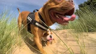 Dogue De Bordeaux And Bulldog Crash. Oz And Rocco