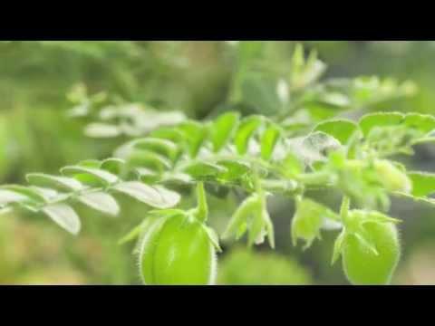 Cómo plantar lentejas