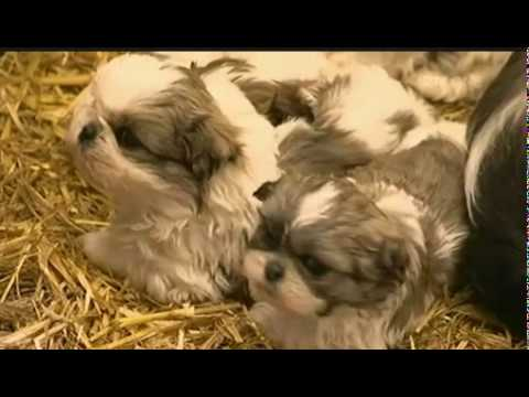PUPPY FARMING  IRELAND. FARMERS PROMOTE THEIR TRADE ON NATIONAL TV
