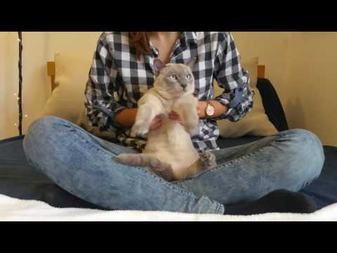 Funny blue Siamese Cat dancing 2017 Cute cat