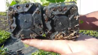 Результаты зимнего размножения ежевики корнями