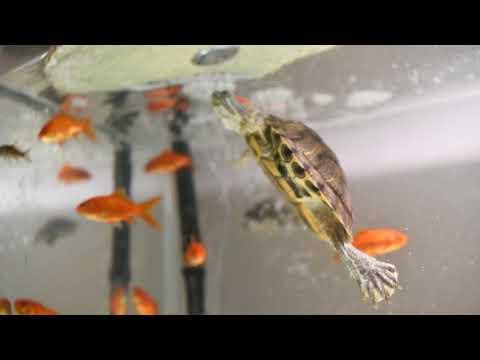 Red Eared Slider Turtles Vs Feeder Fish