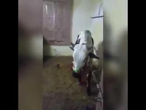 Dancing bull 2017