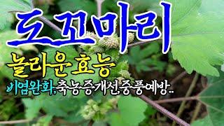 ☞도꼬마리(창이자)의 놀라운 효능【중풍예방,백납치료,진…