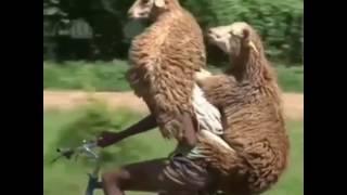 Прикол с баранами на велосипеде