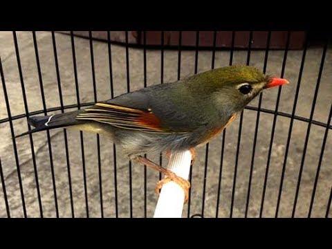 Ocehan Robin Gacor Burung Cantik Bersuara Indah