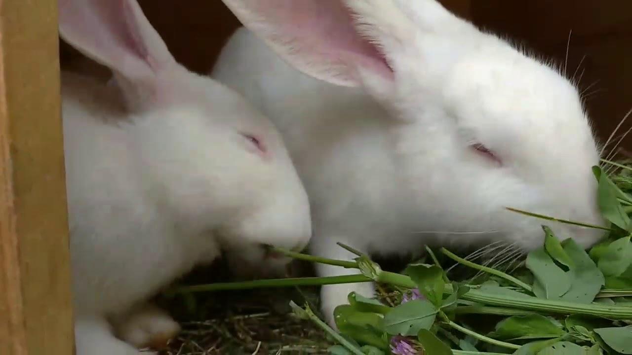 Кролики едят клевер