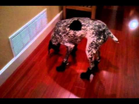 GSP Wearing Boots - Funny Dog Video