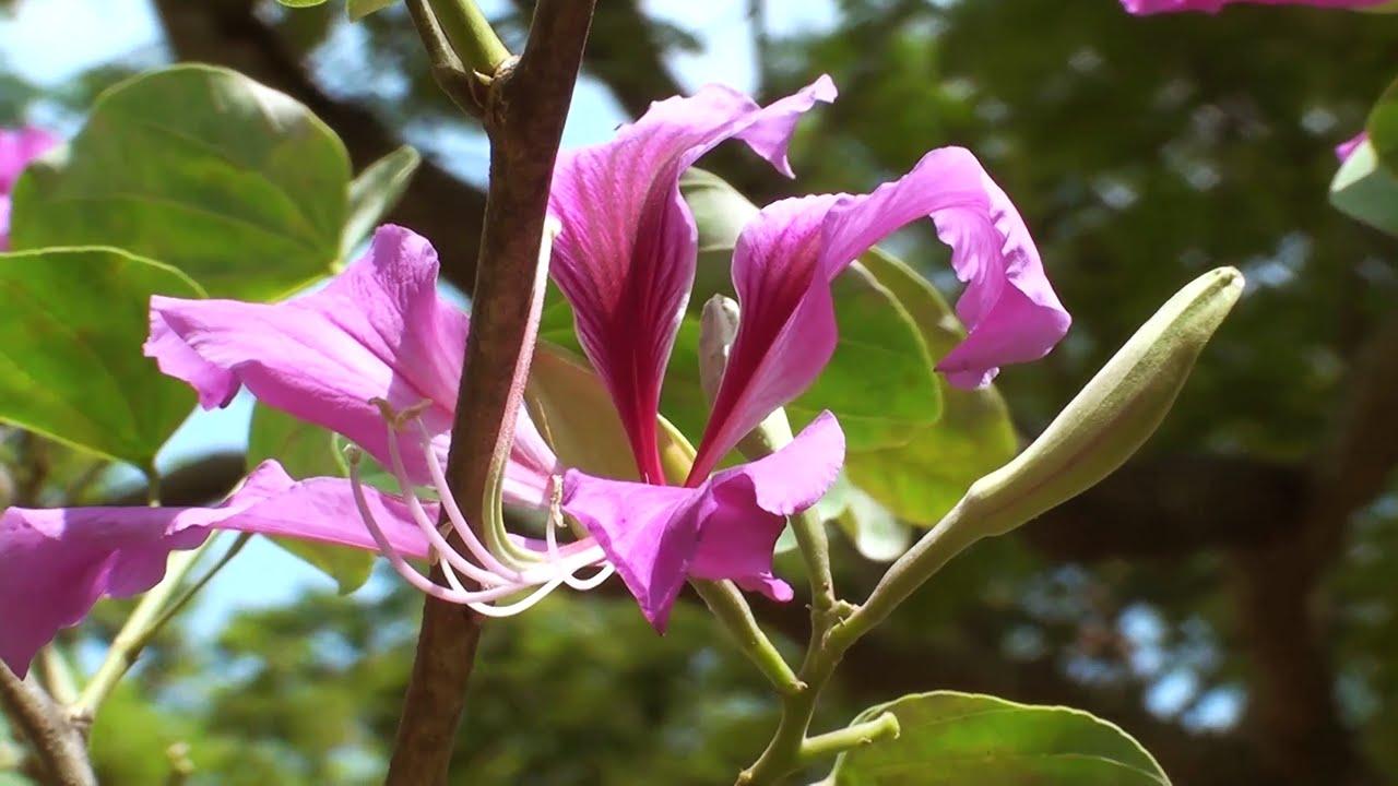 Bauhinia Variegata Orchid Tree Kachnar Youtube