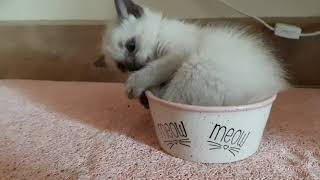 Balinese kitten, Stella tries out her bowl