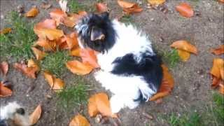 Biewer-yorkshire-terrier Welpen / N-wurf (7)