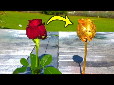 turning-a-red-rose-into-a-gold-rose-!