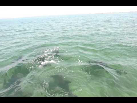 New dolphin species