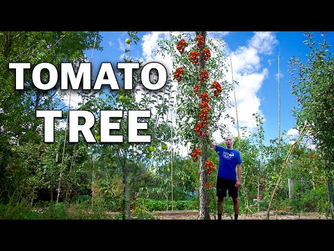 And They Said I was CRAZY for Growing a Tomato Tree…