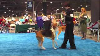 This is the Open Dog class in American Foxhounds at the Los Encinos...