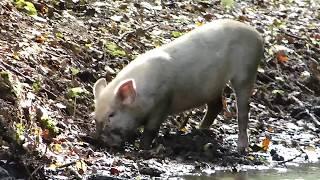 Bellissimo Maiale inselvatichito - Beautiful wild Pig