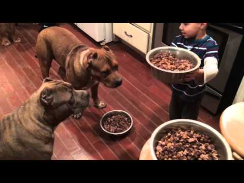 4 year old boy feeding 4 giant Pit bull puppies then feeds himself!! LEADERSHIP ddklinefamily