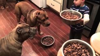 4 year old boy feeding 4 giant Pit bull puppies then feeds himself!! LEADERSHIP ddklinefamily