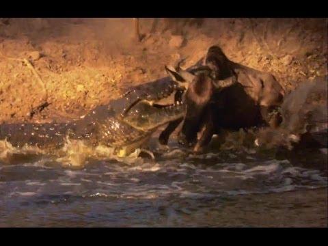 Nile Crocodile Kills Wildebeest | Deadliest Showdowns | Earth Unplugged