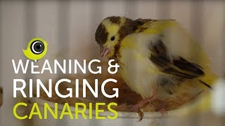 Weaning and Ringing Young Canaries | The Canary Room Top Tips
