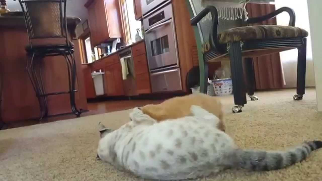F3 snow Savannah cat and puppy playing | FunnyCat TV