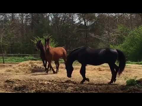 Pasture Breeding Morgan Horses - Educational - 4/01/18 Easter Sunday
