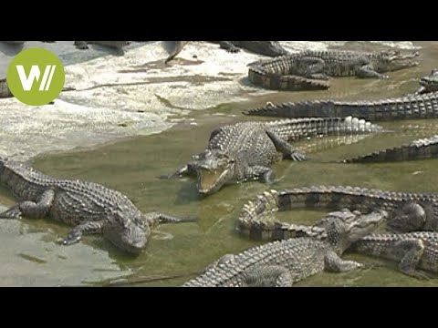 Discover the largest crocodile farm in Yunnan, China