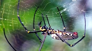 Giant Wood Spider (Nephila maculata) one of the biggest spiders in the world