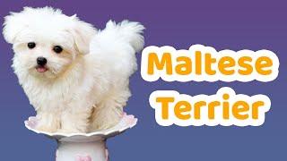 Maltese Terrier özellikleri, bakımı, beslenmesi, sağlığı ve eğitimleri
