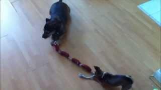 Meg And Mishka Dog Tug Of War Part 2 (russian Toy Terrier Vs Border Jack)