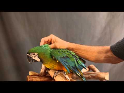 VERY VOCAL MILIGOLD MACAW WILL BE A FUN FAMILY ADDITION