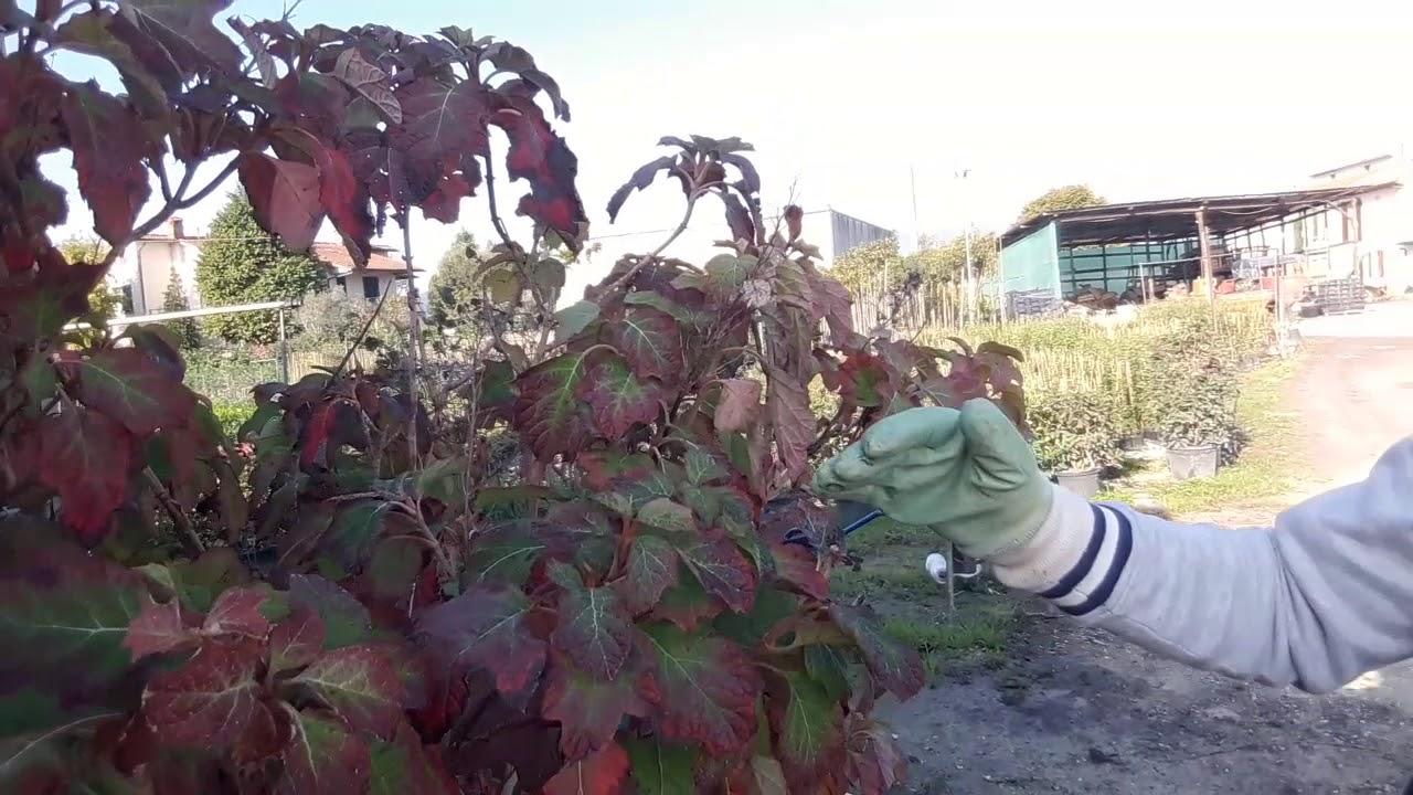 Ortensie Bianche Come Curarle ortensie in vaso: come avere belle fioriture