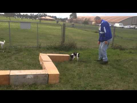 Tenterfield Terrier learns Earthdog for the first time 5