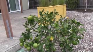 США 4687: Вот так обрезают лимоны мексиканские садовники в Калифорнии