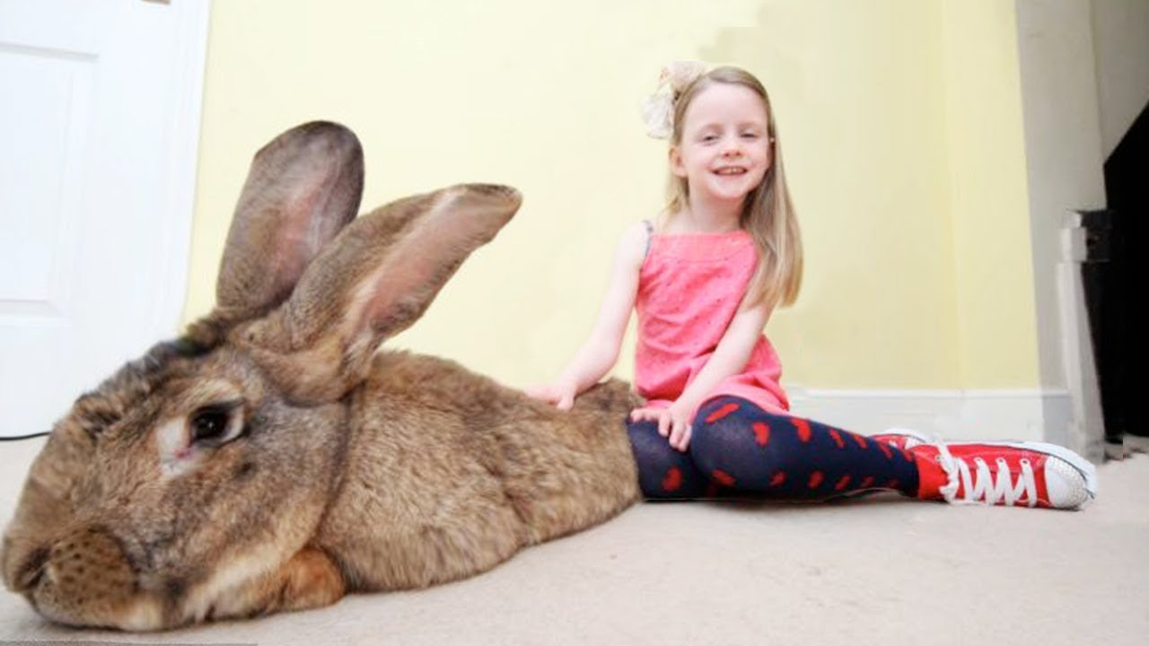 THE BIGGEST RABBIT In The World | You have to see this huge ball of tenderness