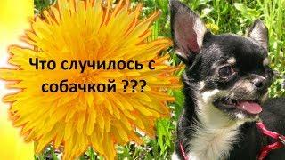 Прикол с чихуахуа. ВЫ КОГДА НИБУДЬ ВИДЕЛИ ??? как собака чихает. ВКЛЮЧИТЬ ЗВУК) чихуахуа чихает как