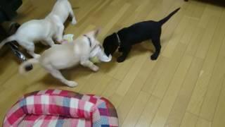 可愛すぎる4匹のラブラドール・レトリーバーの子犬がタオルでじゃれあお...