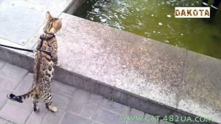 Дакота, первая прогулка, часть 2, самая красивая и самая умная в мире кошка бенгальской породы