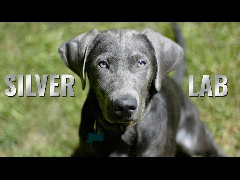 Complete Guide For A Silver Lab Owner