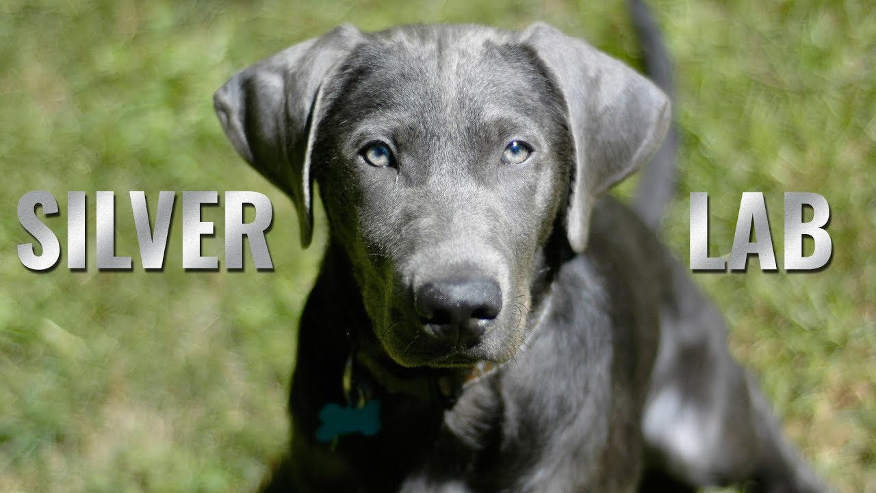 Silver Lab Puppies: Amazing Facts About The Silver Labrador