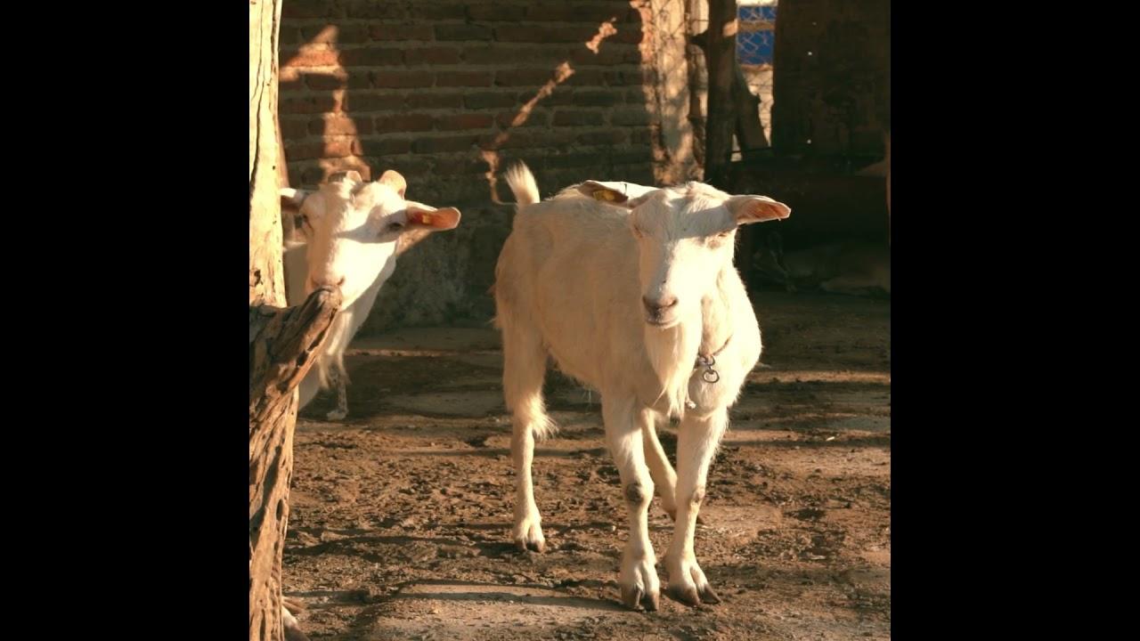Selenium in goat milk #shorts