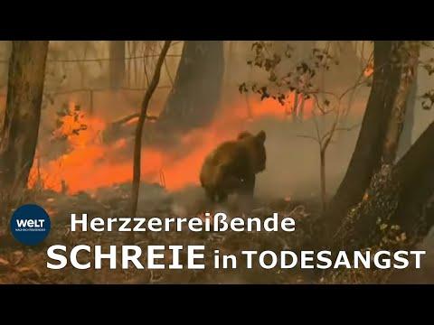 Wie eine mutige Frau diesen Koala aus den Flammen rettete