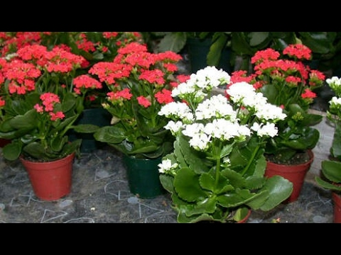 how to grow kalanchoe from cuttings