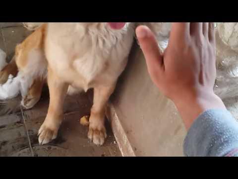 Day in life of golden retriever  يوم من حياة كلب جولدن (كانت هاتعضني )