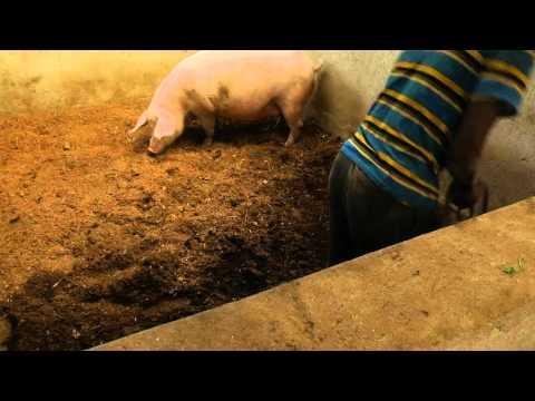 Pig Farming training video ZOA Uganda