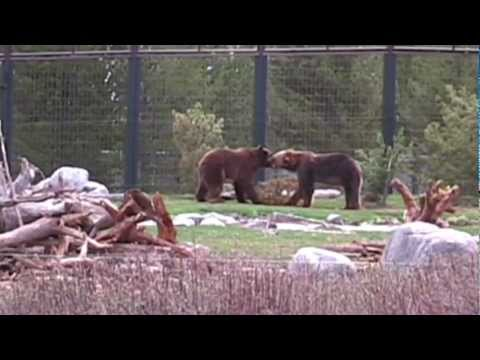 grizzly's playing Grizzly and Wolf Discovery Center yellowstone