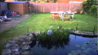 Heron Visit Again Now With Higher Electric Fence