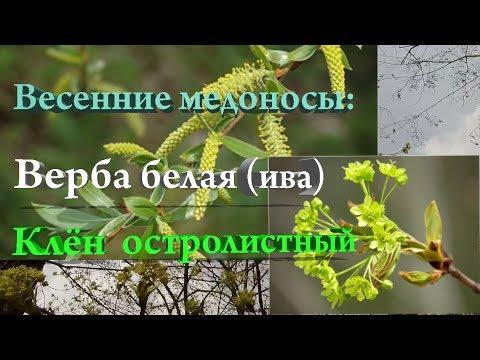 Весенние медоносы: верба белая (ива), клён остролистный.