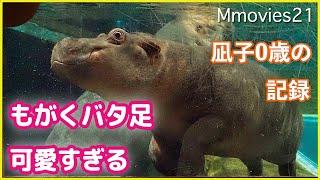 もがくバタ足可愛い♪水中をピョンピョン飛んだり沈んだりのカバ親子 凪子0歳の記録 Hippopotamus enjoying in the water