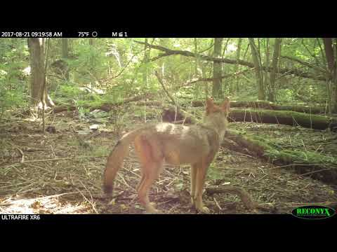 Curious Ohio coyote/coywolf  pups growing fast
